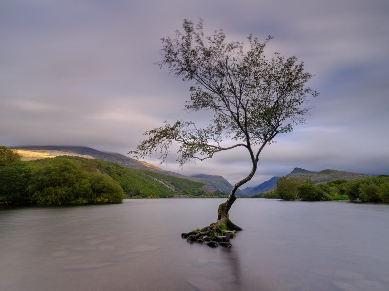 Tree in Snowdonia photographed using the Fuji GFX100