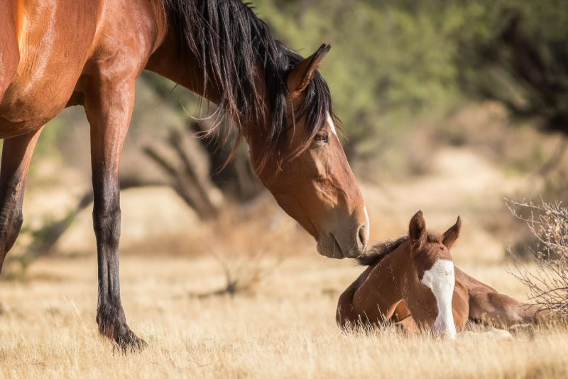 wild horse checks up on a sleeping foal