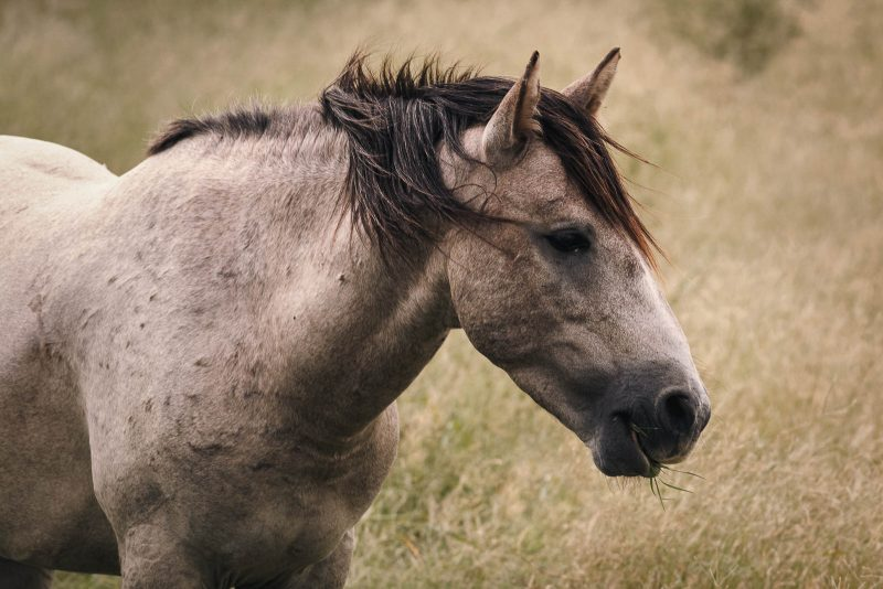 A wild mustang horse chewing grass