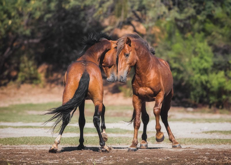 Photograph of two wild horses, one facing away from the camera, the other facing towards it, touching noses.