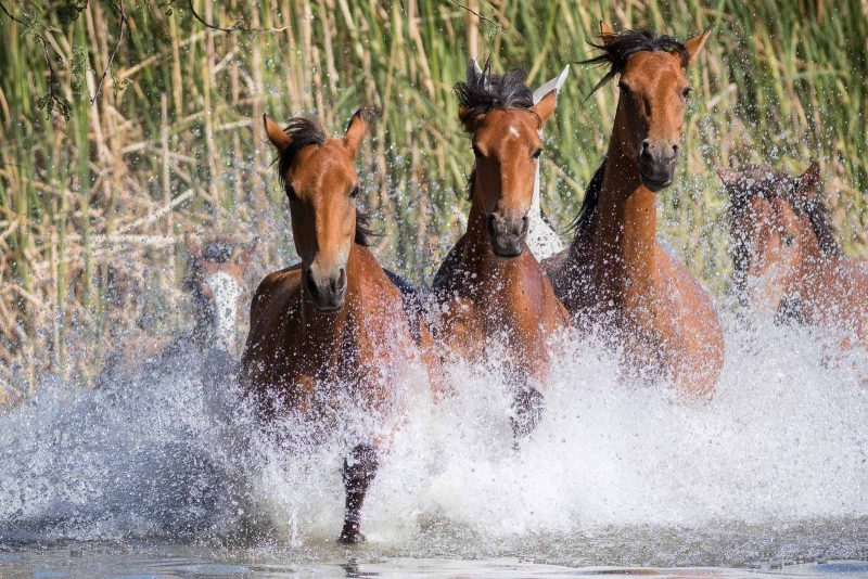 photograph of 6 wild horses galloping through water splashing it up in front of them