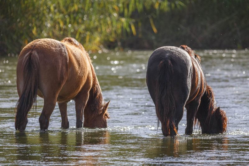 two wild horses stood in a river with their faces in water