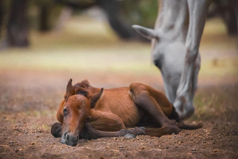 A very young wild foal lying on the floor. It's mother checks it in the background