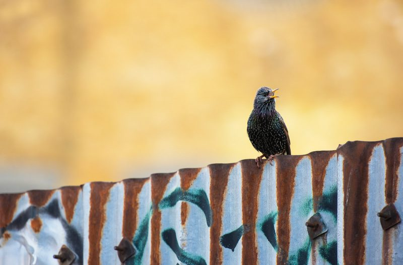 urban wildlife photo of a starling on graffitied wall