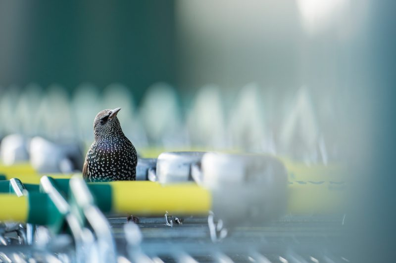 urban wildlife photo of a starling in a shopping trolly