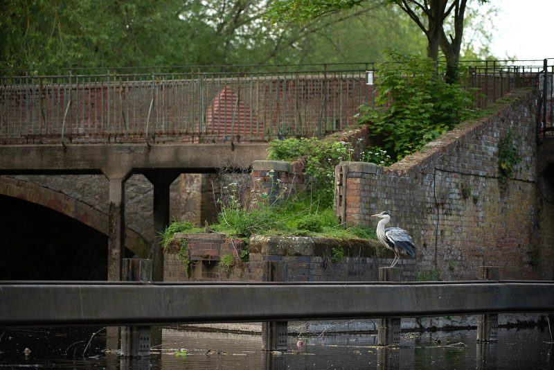 urban wildlife photo of a heron in a city