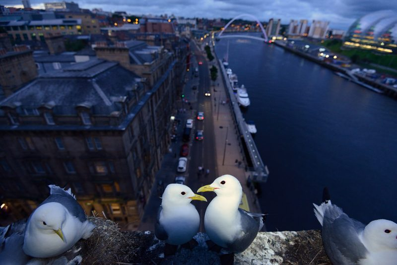 urban wildlife photo of a kittiwakes nesting on a building
