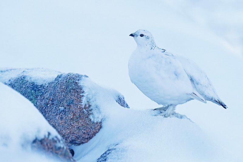Ptarmigan sat on a snow covered rock