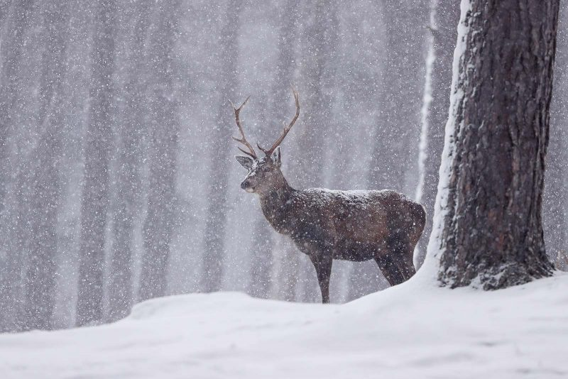 Snow falling around a stag in a forest