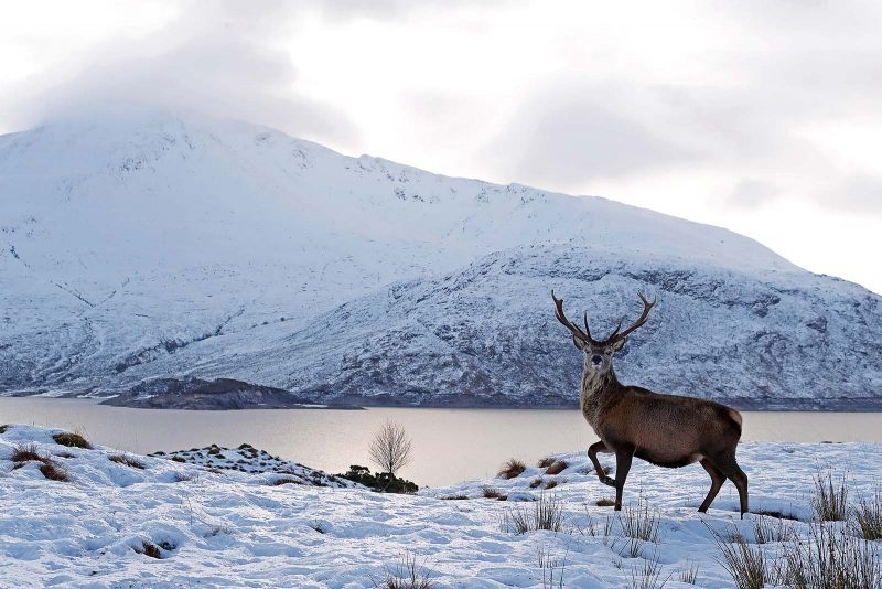 Red deer stag surrounded by snow. Lake and mountain in background