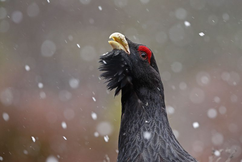 capercaillie close up with snow falling around it