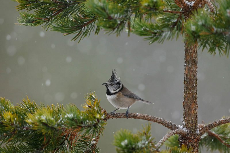 Crested tit on a pine tree branch with snow falling in the background