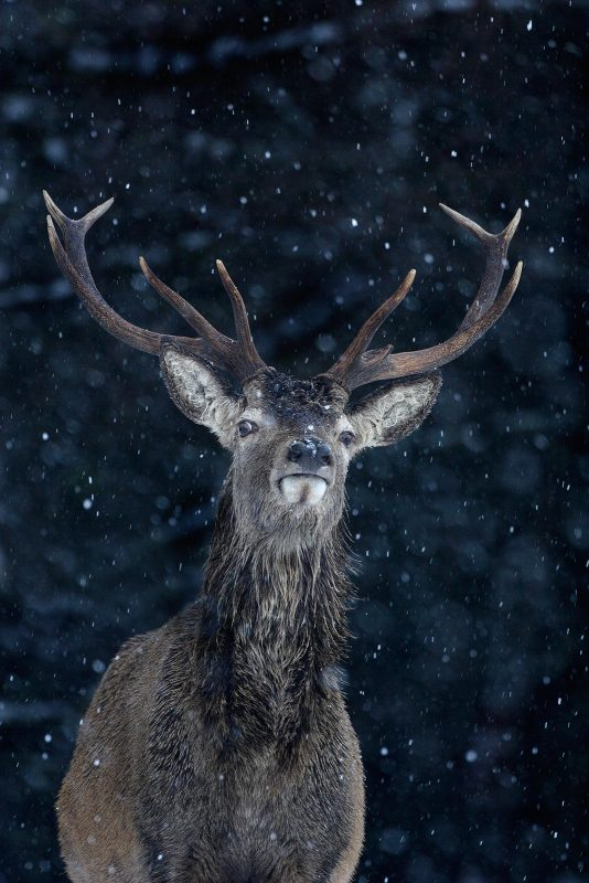 Stag against dark background with snow falling around it