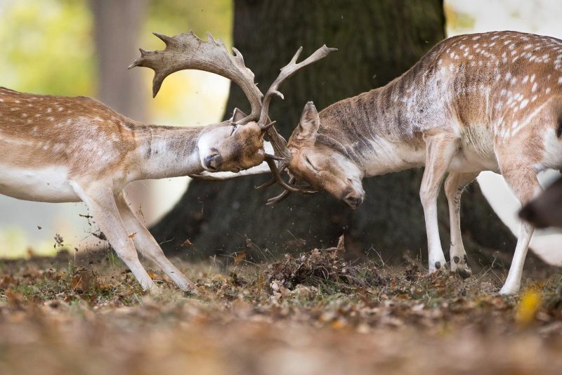 Fallow deer fighting photographed in Bushy Park