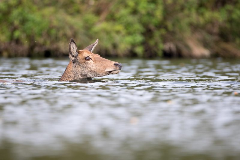 Red deer swimming photographed in Bushy Park