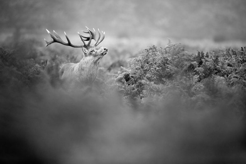 Red deer photographed in Bushy Park