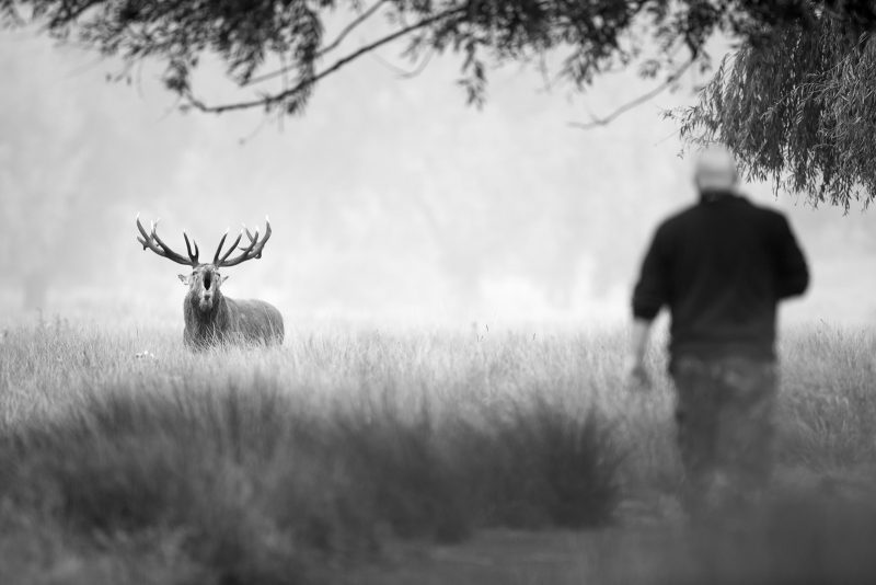 Red deer and man photographed in Bushy Park