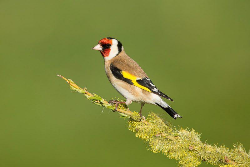 front-lit goldfinch