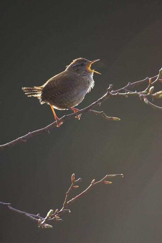 back-lit bird portrait