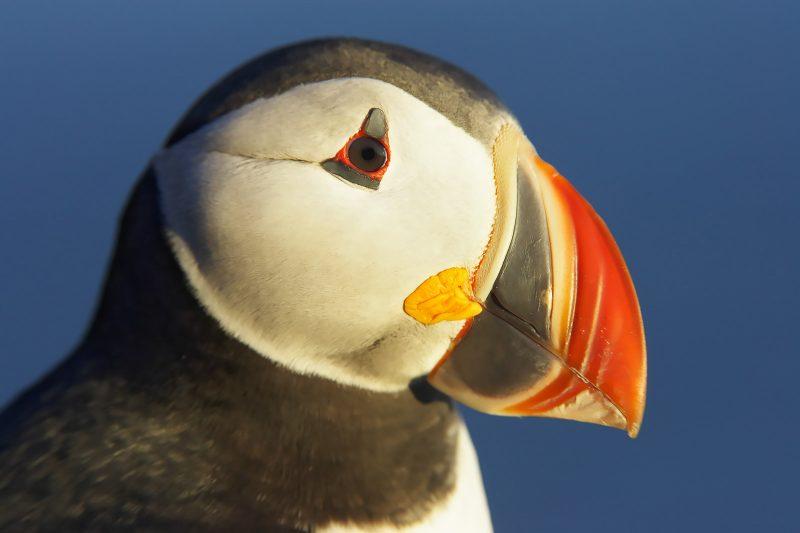 puffin bird portrait