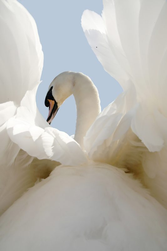 wide angle photograph of a swan