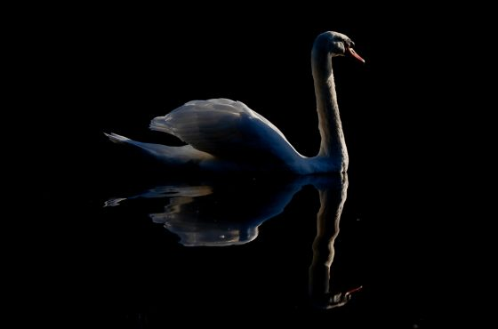 how-to-photograph-swans-7