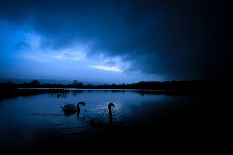 swans within a dark landscape