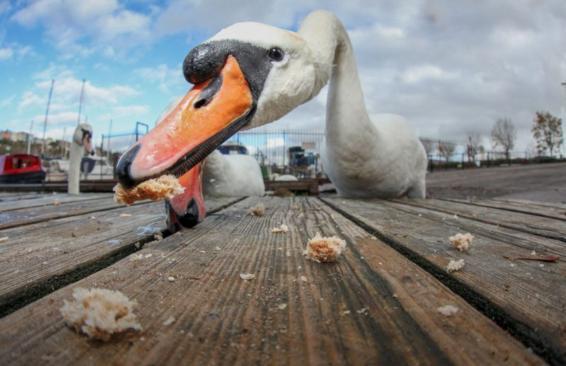 wide angle shot of a swan eating bread