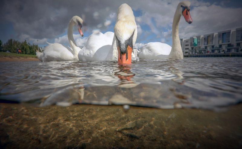underwater split-shot photograph of 3 swans swimming