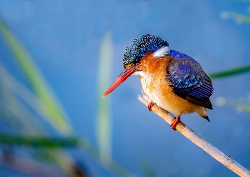 kingfisher photographed in africa