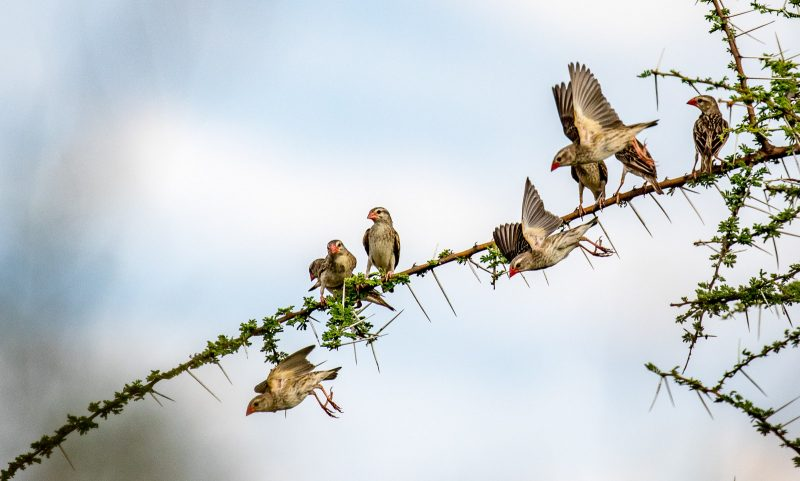flock of small birds in africa