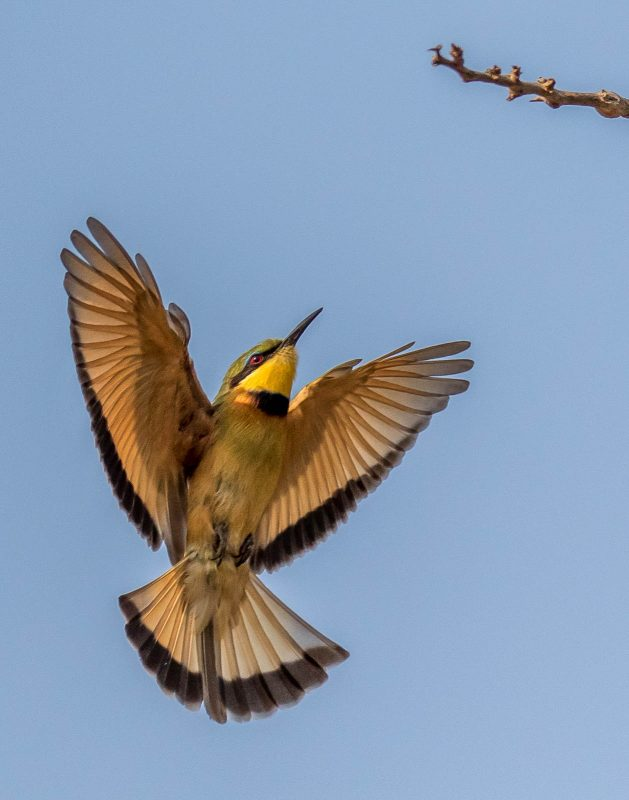 bee eater photographed in flight in africa