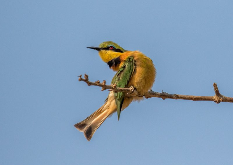 bee eater photographed in africa