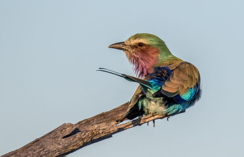 lilac-breasted roller bird photographed in africa