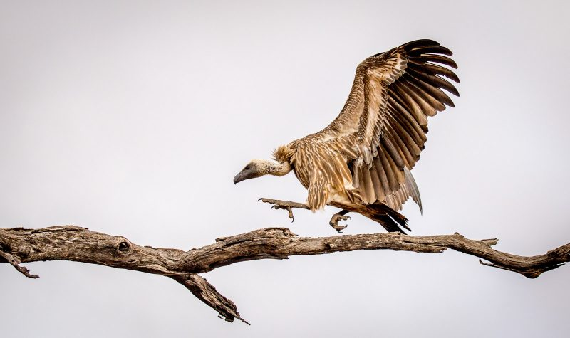 vulture photographed in africa