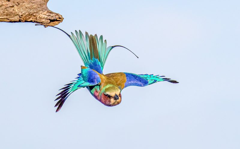 lilac-breasted roller bird photographed in flight in africa
