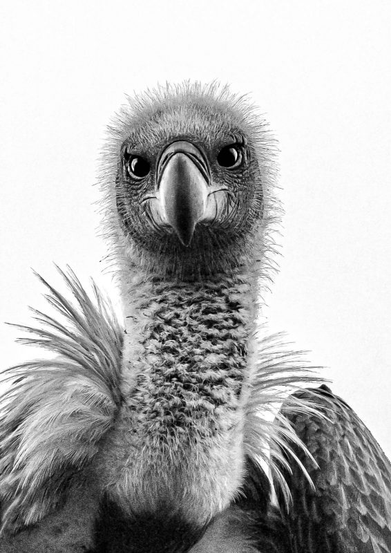black and white high key portrait of a vulture