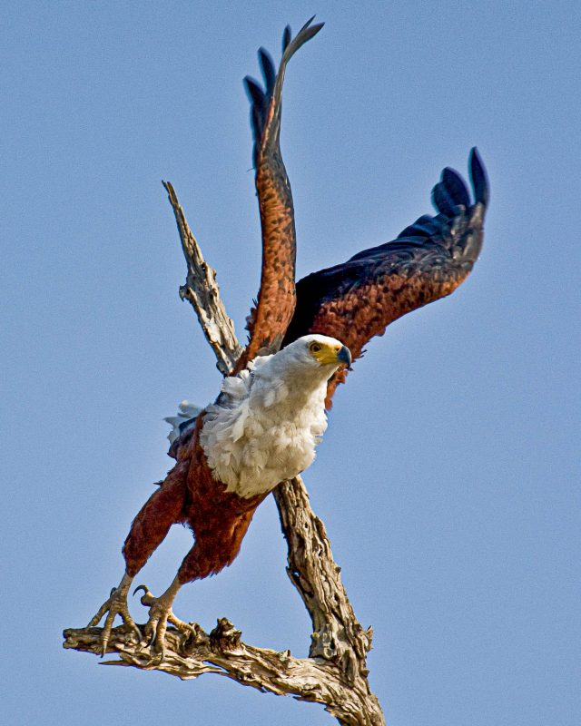 bird of prey photo taken in africa