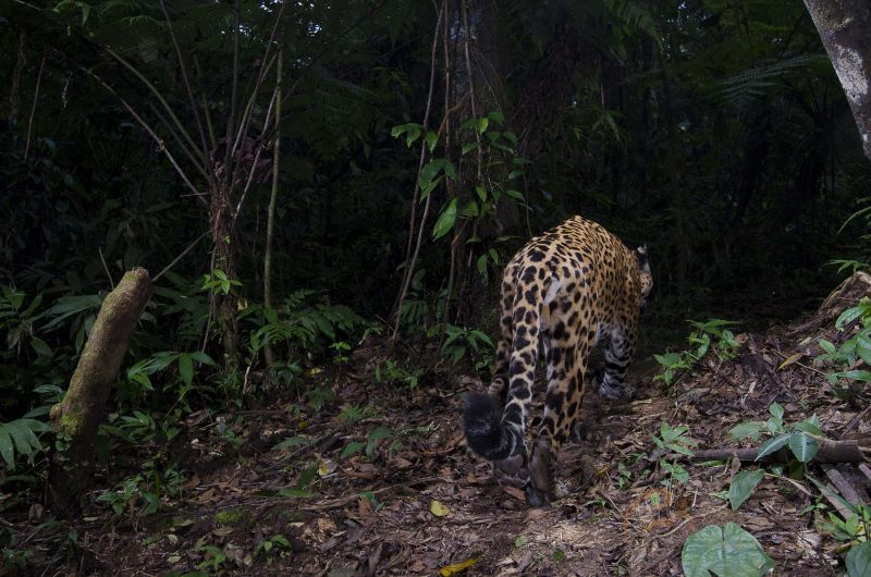 leopard photographed on a camera trap