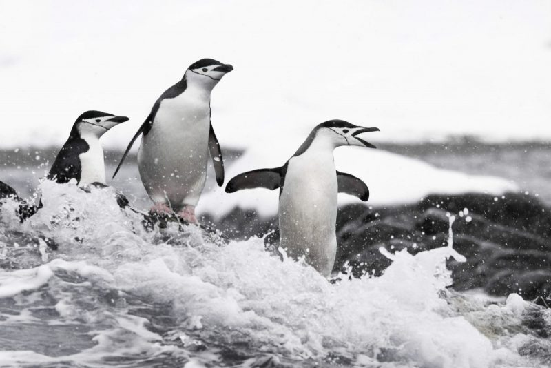 Three penguins stand on the edge of choppy waters