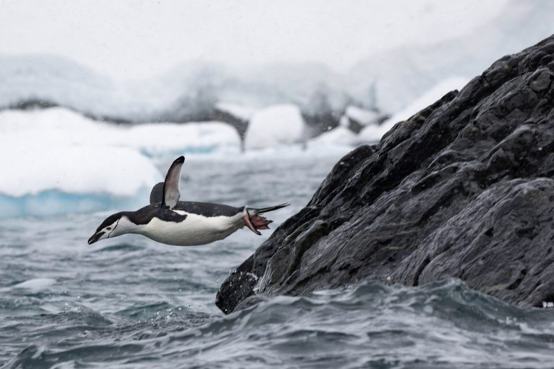 photograph of a penguin leaping form a rock into the sea