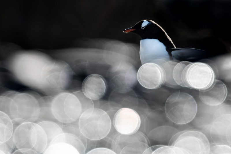 A penguin behind a blurred foreground