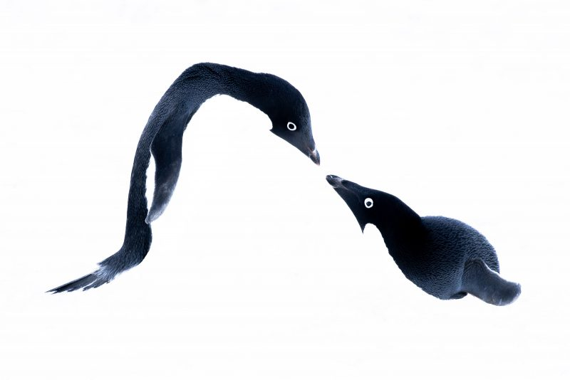 High-key photo of two penguins nearly touching beaks