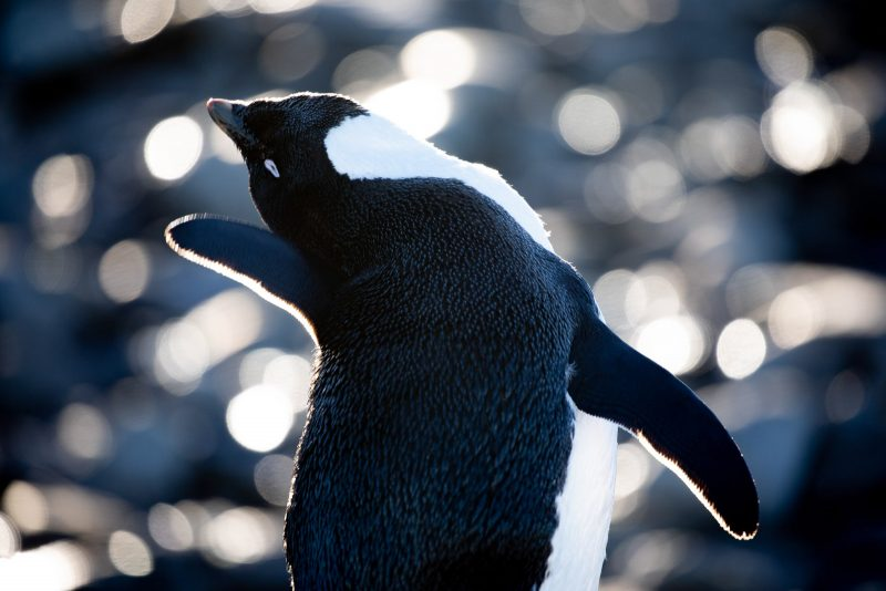 Photograph of a penguin stretching it's next to the left