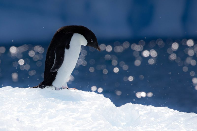 Penguin on ice, looking down