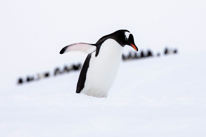 A penguin walks through snow, a line of other penguins can be seen behind it
