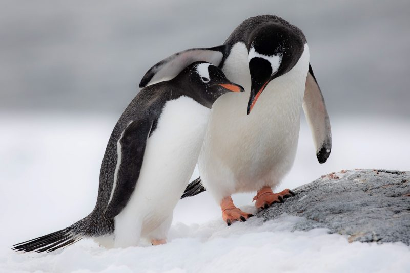 photograph of a penguin putting it's wing over the another