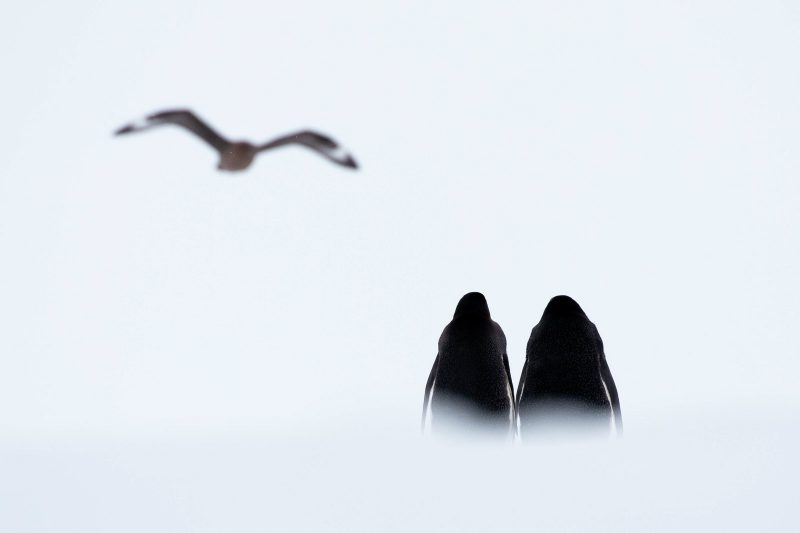 two penguin stand side by side in the snow looking away from the camera at a flying bird (skua)