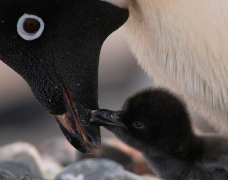 a penguin chick and parent touch beaks