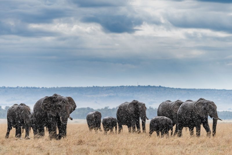 Photograph of a heard of african elephants walking through rain during a storm